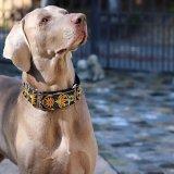 【DIVA DOG】 マーチンゲールカラー5cm幅 (Mandala Star Tuscan Lemon) ★レターパックOK★