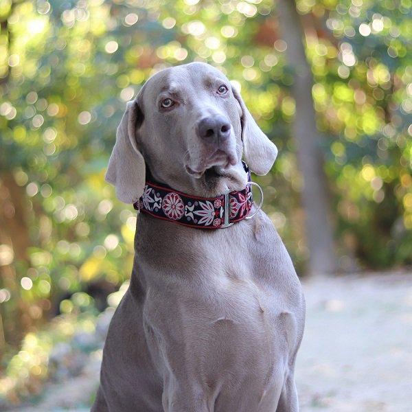 【DIVA DOG】 マーチンゲールカラー5cm幅 (Mandala Star Carnelian Red) ★レターパックOK★