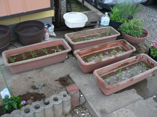 本日もう一つの田植えをしました