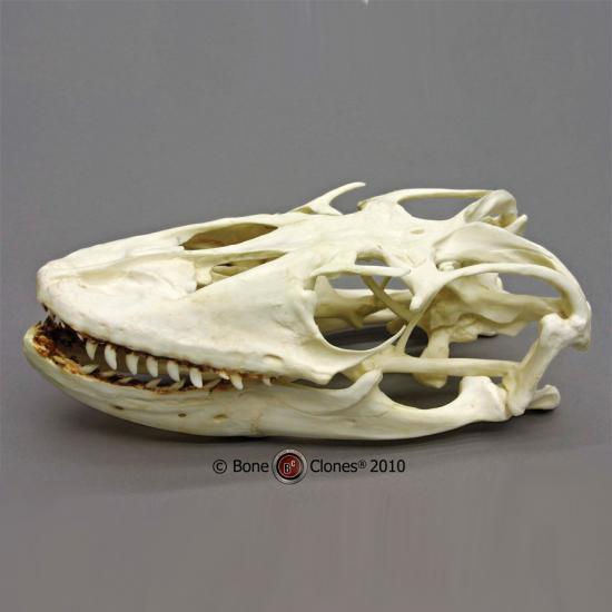 コモドオオトカゲの画像 p1_26
