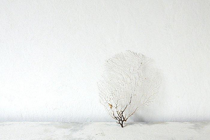 ウミウチワ ホワイト