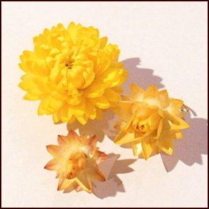 ヘリクリサム ドライフラワー花材 3コセット