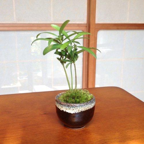【盆栽】コケボンサイ:マキ(槙)/鉢:瀬戸焼
