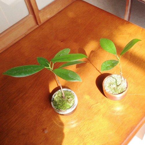 【盆栽】コケボンサイ:ガジュマル(榕樹)/鉢:瀬戸焼