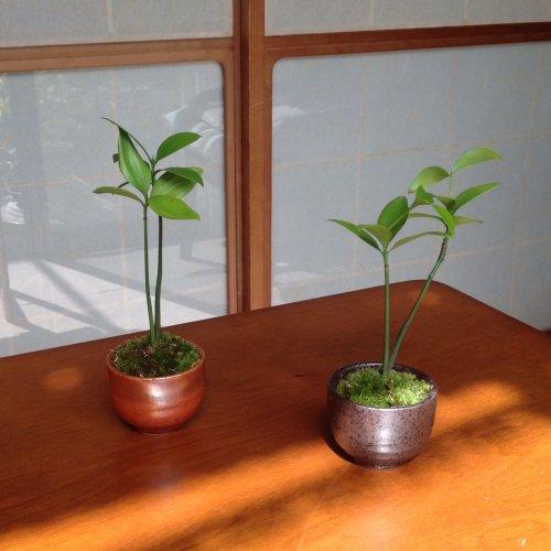 【盆栽】コケボンサイ:ナギ(梛)/鉢:瀬戸焼