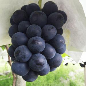 山梨の豊潤種無しピオーネ<br>2〜4房(1.3kg)
