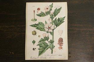 チェコの植物図鑑の1ページ 315