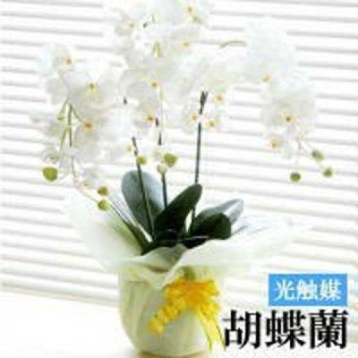光触媒 胡蝶蘭/ホワイト