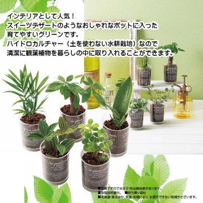 デザートカップ観葉植物 1個