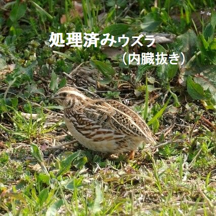 猛禽餌 冷凍 処理済みウズラ(10羽)
