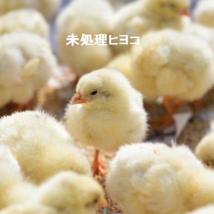 冷凍 ヒヨコ 猛禽餌 (10羽)