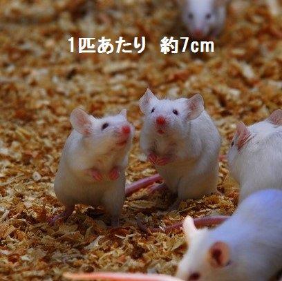 冷凍 マウスMサイズ (10匹)