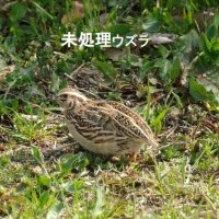 猛禽餌 冷凍 未処理ウズラ(10羽)