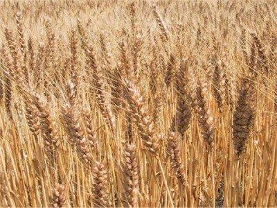 [シードバンクのみの注文不可]小麦   鴻巣25号|Seed Bank|シードバンク|種の銀行