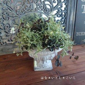 【寄せ植え327 シレネユニフローラの寄せ植え】<br>母の日の贈りものに