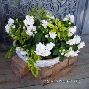 【寄せ植え331 八重咲きインパチェンスの寄せ植え】<br>母の日の贈りものに