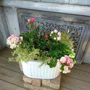 【寄せ植え486 バラ咲きゼラニウムとミニチュアローズの寄せ植え】<br>母の日の贈りものに♪