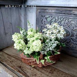 【寄せ植え491 フランネルフラワー天使のウィンクの寄せ植え】<br>