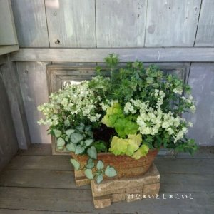 【寄せ植え547 ニゲラとバーベナライムグリーンの寄せ植え】<br>  母の日の贈りものにいかがでしょう。