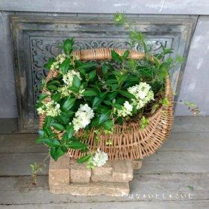 【寄せ植え548 コガクウツギ'花笠'の寄せ植え】<br>  母の日の贈りものにいかがでしょう。