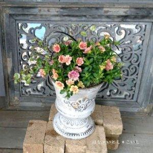 【寄せ植え550 八重咲きカリブラコアの寄せ植え】<br>  母の日の贈りものにいかがでしょう。