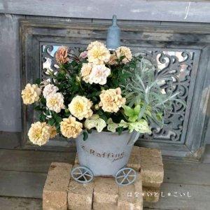 【寄せ植え551 ミニバラモカの寄せ植え】<br>  母の日の贈りものにいかがでしょう。