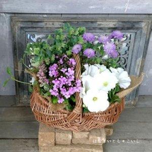 【寄せ植え555 ペチュニアとスカビオサの寄せ植え】<br>  母の日の贈りものにいかがでしょう。