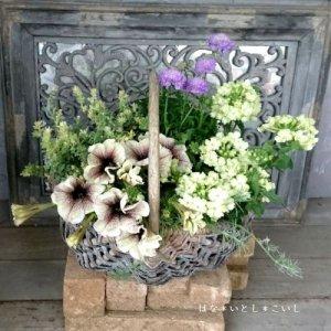 【寄せ植え556 ペチュニアとバーベナの寄せ植え】<br> 母の日の贈りものにいかがでしょう。