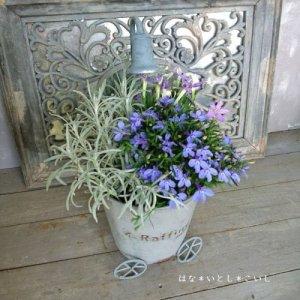 【寄せ植え564 ブルーのロベリアの寄せ植え】<br>  母の日の贈りものにいかがでしょう。