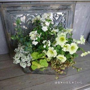 【寄せ植え568 コガクウツギの寄せ植え】<br>  母の日の贈り物にいかがでしょう。