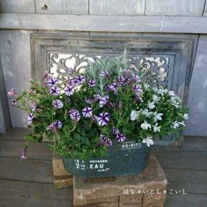 【寄せ植え569 ペチュニア ミニブルースターの寄せ植え】<br>  母の日の贈り物にいかがでしょう。