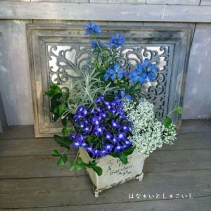 【寄せ植え570 デルフィニウムとロベリアの寄せ植え】<br>  母の日の贈りものにいかがでしょう。