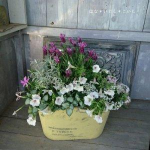【寄せ植え572 ラベンダーとペチュニアの寄せ植え】<br>  母の日の贈りものにいかがでしょう。