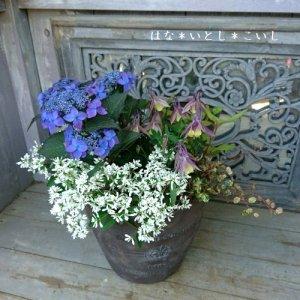 【寄せ植え610  母の日の贈り物に♪ブルーの山アジサイの寄せ植え】