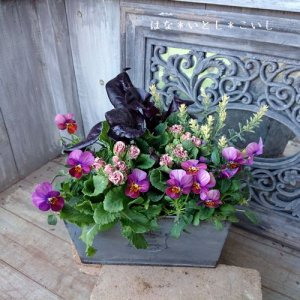 【寄せ植え310  ジュリアンとビオラの寄せ植え】<br>ショコラをあしらって☆春まで長く楽しめます♪