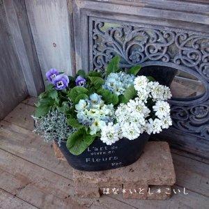 【寄せ植え314  ジュリアンの寄せ植え】<br>ブルー&ホワイト☆春まで長く楽しめます♪