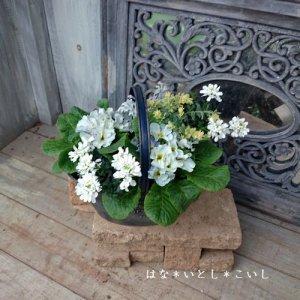 【寄せ植え317 ジュリアンの寄せ植え】<br>ホワイト&ブルー☆春まで長く楽しめます♪