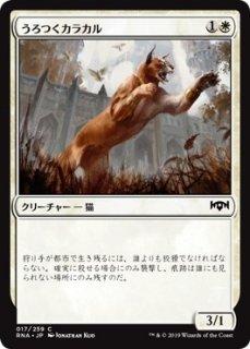 うろつくカラカル/Prowling Caracal