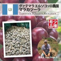 【希少品種】グァテマラ エル・ソコッロ マラカツーラ(Guatemala El Socorro Maracaturra)