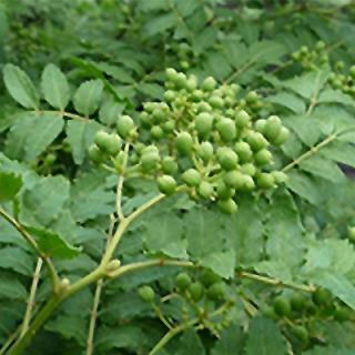 青実山椒E(初期もの)100g