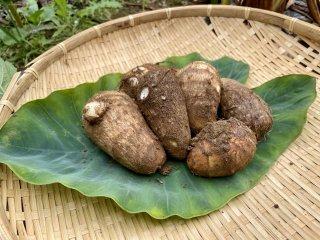 ねっとり甘〜い! 里芋(サトイモ 子宝)1kg [農薬・化学肥料不使用]