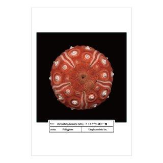 ダイオウウニ属の一種(ポストカード)