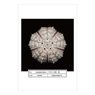 トゲザオウニ属の一種(ポストカード)