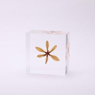 Sphenodesma属の一種