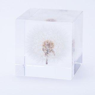 タンポポ (5cm角)