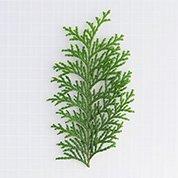 ヒノキ葉  ひのきば 長さ約12-15�