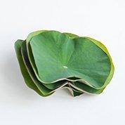 蓮の葉  およそ15� (他サイズあり)