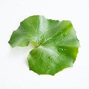 艶蕗の葉  つわぶきのは 8cm前後