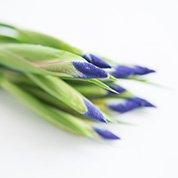 菖蒲の花  しょうぶのはな 13cm前後