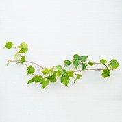 ツタの葉(大)   長さ約30cm 5本入